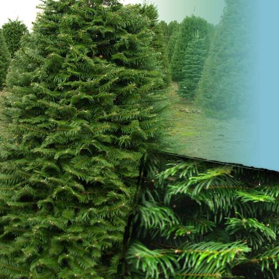 Grand Christmas Tree: Christmas Trees From Stroupe FarmsStroupe