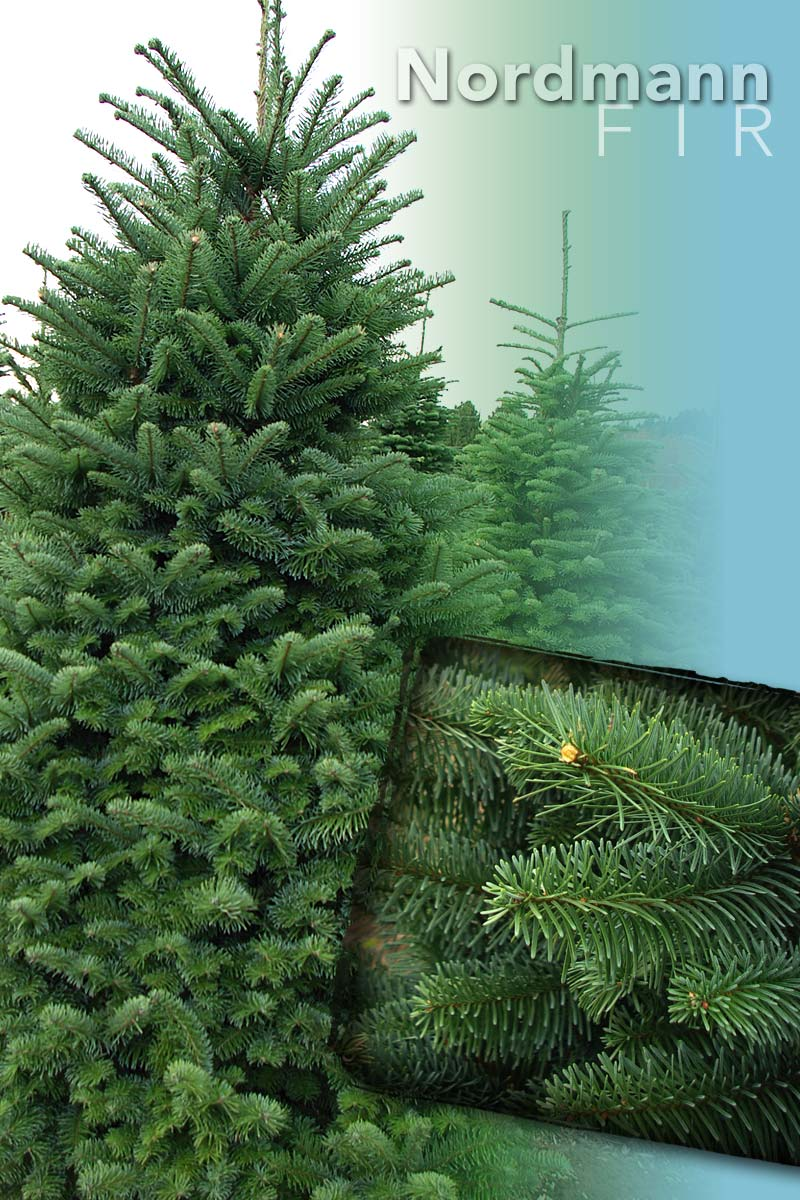Nordmann Fir Tree - Christmas Trees from Stroupe Farms